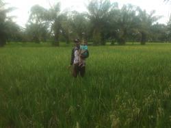 Puluhan Hektare Tanaman Padi di Medang Deras Diserang Hama Tikus