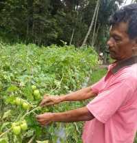 Harga Tomat di Sosopan Bertahan Rp 4.500/ Kg