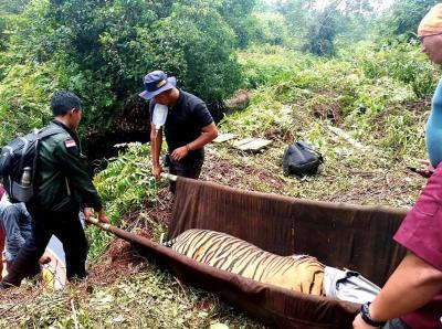 Harimau dan Tim Patroli Terjerat Kawat, Perangkap di Hutan Pelalawan akan Disisir