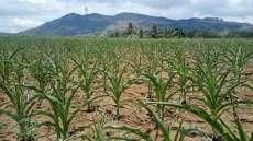 Curah Hujan Rendah, Petani Jagung di Kuta Bangun Mengeluh