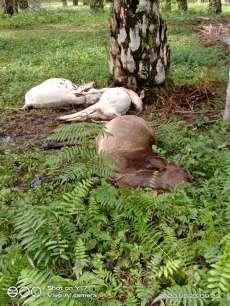3 Ekor Lembu Mati Disambar Petir di  Marihat Raja