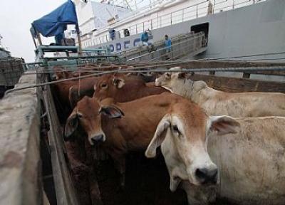 3.385 Ekor Sapi Australia Diimpor untuk KebutuhanSumut