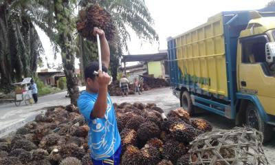 Harga TBS Kelapa Sawit di Kotapinang Terus Turun
