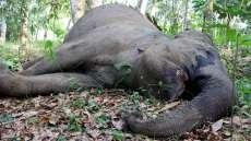 Gajah Betina Berusia 50 Tahun di Riau Ditemukan Tewas
