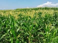 Musim Kemarau, Petani Jagung di Kecamatan Sidamanik Mengeluh